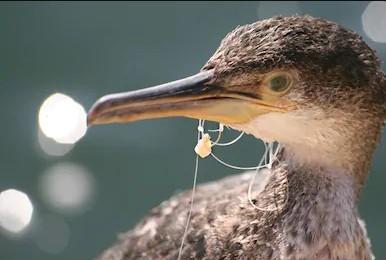 Cormorant bird stuck in fishing line hook