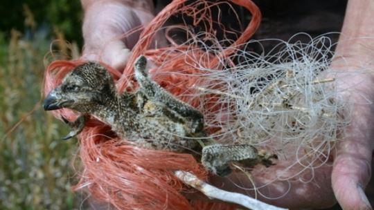 Baby bird caught in fishing line